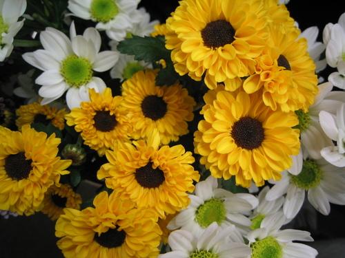 菊の画像 p1_4