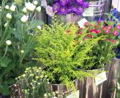 キイロの花